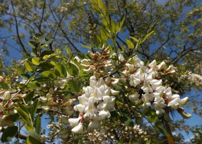 Robinia Flowers (shrink)